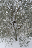 Snow-covered olive tree - 194870842