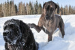 Great Dane tries really Hard to Capture the Attention of a Newfoundland Dog to play in the Snow