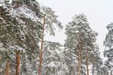 fresh pine forest on a snowy day
