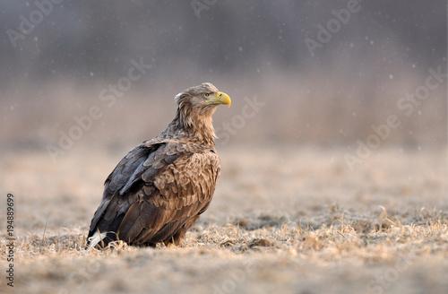 Aluminium Eagle White tailed eagle (Haliaeetus albicilla)