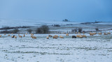 Sheep grazing in a snowy Basque landscape - 194896079