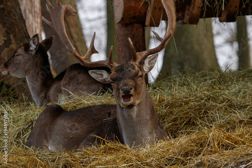 Aluminium Hert fallow deer portrait