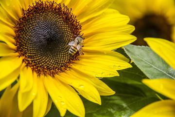 Sunflower feeding