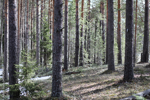 Aluminium Lente Pine forest in the beginning of spring under the snow. Forest un