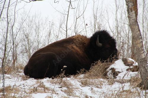 Fotobehang Bison Sitting Bison, Elk Island National Park, Alberta