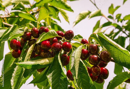 Fotobehang Kersen ripe sweet cherries on cherry tree against sky
