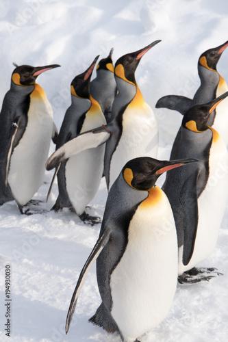 Foto op Aluminium Antarctica 集団ペンギンの行進
