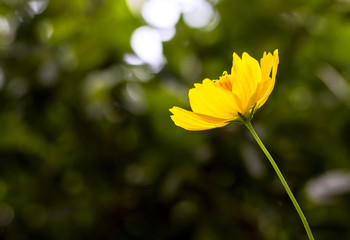 yellow cosmos flower blooming with blurred background. selective focus.