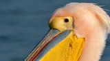 White Pelican (Pelecanus onocrotalus) - 194942233