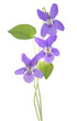 Common Violet plant