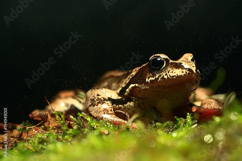 Aluminium Kikker frog / nature background animal, frog sits on green moss, in nature, concept ecology