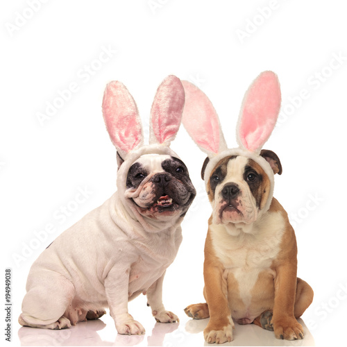 Plexiglas Franse bulldog french and english bulldog dogs wearing bunny ears