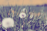 Dandelion, spring abstract color background