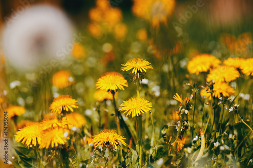 Dandelion flower in spring