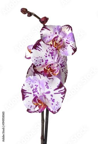 Fototapeta orchid american akita