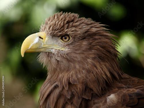 Aluminium Eagle european eagle
