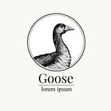 Vector hand drawn goose illustration. Retro engraving style. Sketch farm animal drawing. Duck logo template. - 194967249