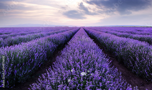 Fotobehang Purper Lavender fields. Beautiful image of lavender field.