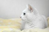 Biały kot z niebieskimi oczami leżący na w łóżku