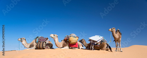 Panorama of camels in the Sand dunes desert of Sahara, South Tunisia - 194980056