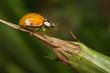 Harlequin Ladybird or Ladybug - Harmonia axyridis