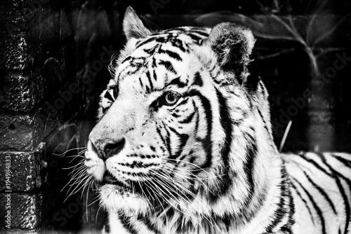 Aluminium Tijger white tiger closeup