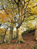 beautiful tall stately autumn beech trees growing on a steep hillside with leaves beginning to turn golden - 194996271