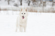 white Swiss Shepherd on a winter walk