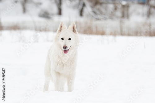 white Swiss Shepherd on a winter walk