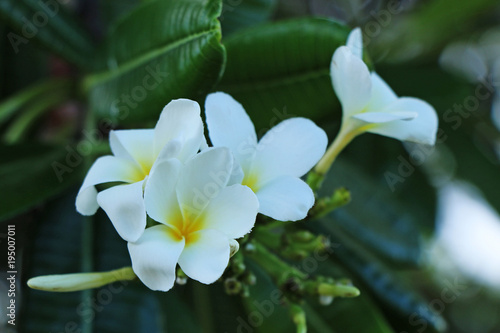 Plexiglas Plumeria White plumeria blooms in the tropical garden