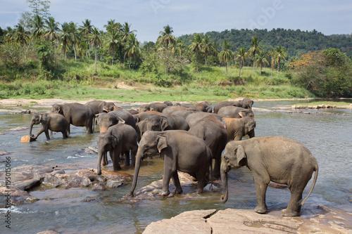 Fototapeta Elephant orphanage in Sri Lanka