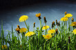 Blooming Dandelions by the shore