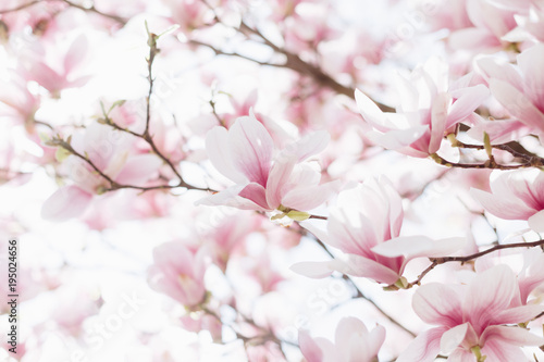 Fototapety, obrazy : Closeup of magnolia blossoms with blurred background and warm sunshine