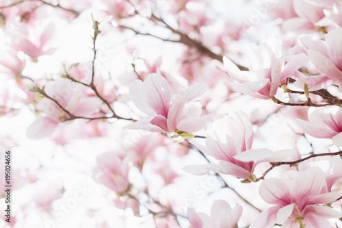 Zdjęcia na płótnie, fototapety na wymiar, obrazy na ścianę : Closeup of magnolia blossoms with blurred background and warm sunshine