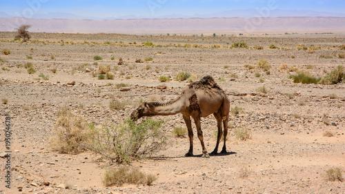 Aluminium Kameel camel on Sahara Desert, Morocco