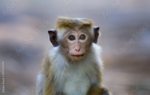 Plexiglas Aap Portrait of baby monkey ( Macaca Sinica) from Sri Lanka