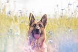 Deutscher Schäferhund im Sommer