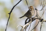 Reed Bunting - 195039840