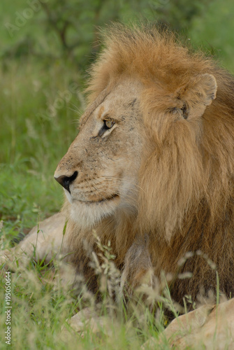 Aluminium Lion Close up side headshot of male lion lying in grass with large mane