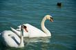 A couple of white swans on Balaton lake. Siofok, Hungary - 195052640