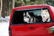 Two huskies in the trunk of an SUV