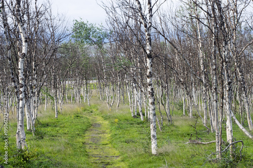Fototapeta Sentier dans une forêt de bouleaux
