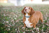 Portrait of a red and white Dachshund mix dog outdoors surrounded by leaves