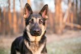 A purebred German Shepherd dog outdoors - 195062891