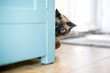 A Siamese cat peeking around a cabinet