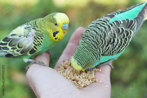 Aluminium Papegaai feeding birds from hand