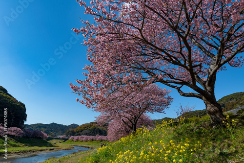 Fotobehang Lente Japanese early spring flower, Sakura Kawazu
