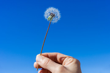 Woman hand holding dandelion floret against a bright blue sky