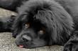 Newfoundland female dog