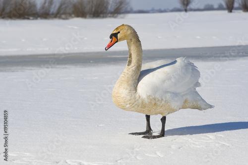 Aluminium Zwaan white swan
